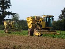 Harvesting Green Beans at Pearmine Farms.