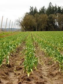 A field of Elephant Garlic