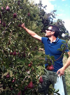 "Jon ""J.P."" Palanuk harvesting pears"