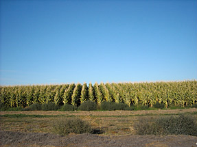 Hale Farms field corn.