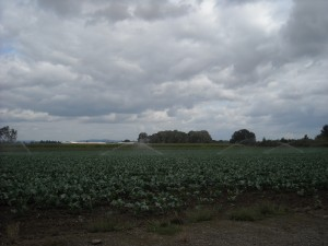Photo of Scott Miller's Field of Cabbage